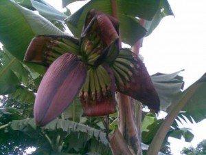 Uganda bananas