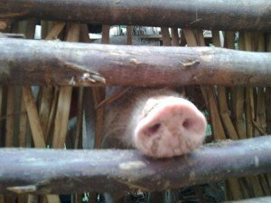 Volunteer in Uganda and work with farm animals helping families to earn income.