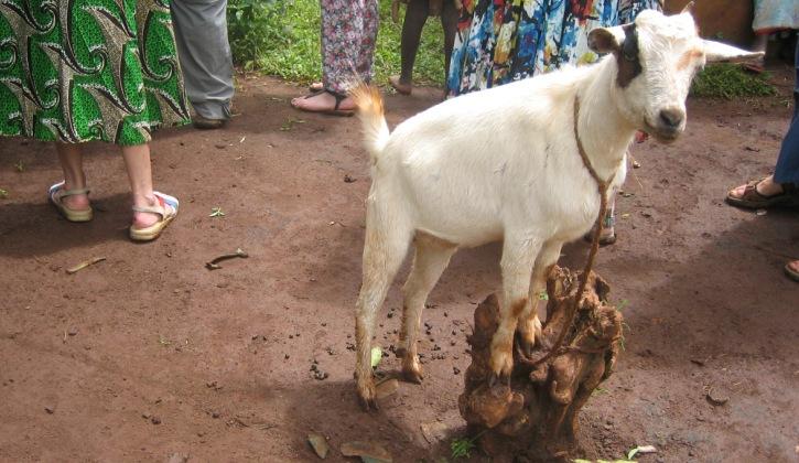a goat in rural Uganda