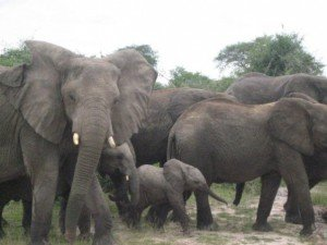 See elephants in Uganda when you visit Murchison Falls National Park