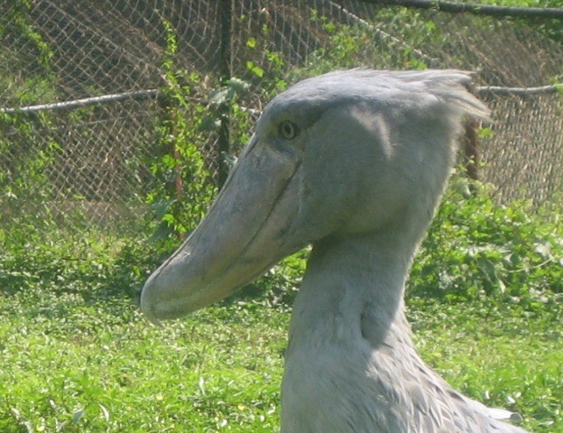 The elusive shoebill stork found in Uganda but hard to find outside the Uganda Wildlife Education Centre